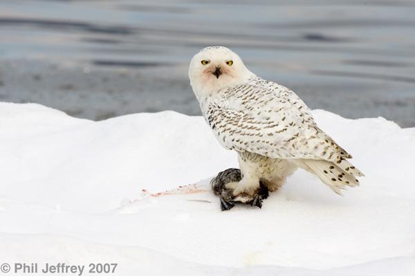Piermont Pier Feb 28th 2007 - Snowy Owl hunting Ruddy Ducks