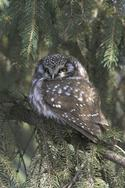 Boreal Owl in Central Park