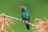 Broad-billed Hummingbird, Madera Cyn, AZ