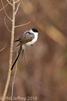 Fork-tailed Flycatcher in Stamford CT