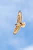 Ferruginous Hawk in Arizona
