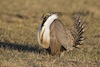 Greater Sage-Grouse in Colorado