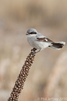 Northern Shrike at Jones Beach