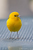 Prothonotary Warbler in NYC