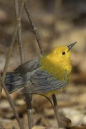 Prothonotary Warbler in Forest Park Queens
