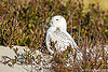 Snowy Owl in coastal New Jersey