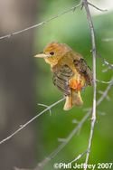 Summer Tanager in Central Park