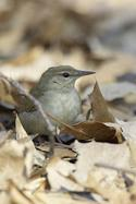 Swainson's Warbler in Forest Park Queens