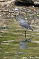 Western Reef-Heron in Brooklyn