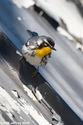 Yellow-throated Warbler in Central Park