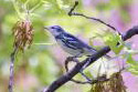 Cerulean Warbler