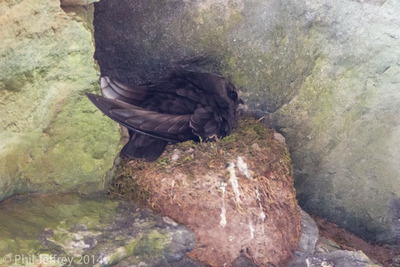 Black Swift on nest, Box Canyon Falls, Ouray