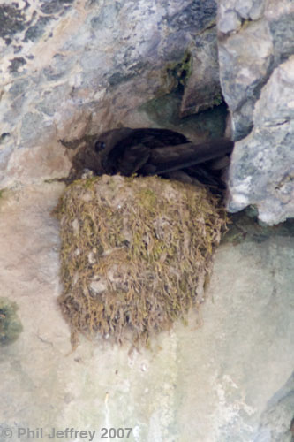 Black Swift on nest at Ouray