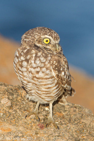 Burrowing Owl at Playa Del Rey, Los Angeles