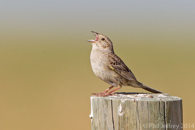Singing Cassin's Sparrow, Pawnee National Grassland