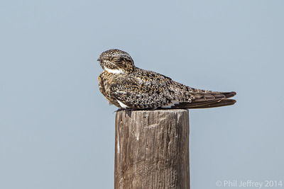Male Common Nighthawk, Pawnee National Grassland