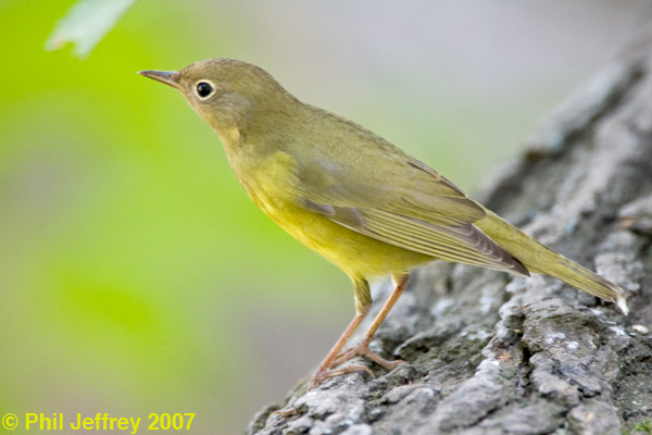Connecticut Warbler immature