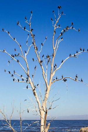 Cormorant-studded tree, Salton Sea, California