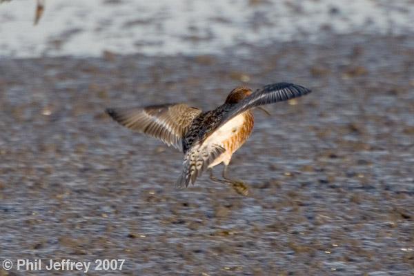 Curlew Sandpiper adult male