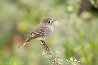Dusky Flycatcher, Grand Teton NP