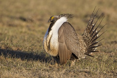 Displaying male Greater Sage-Grouse