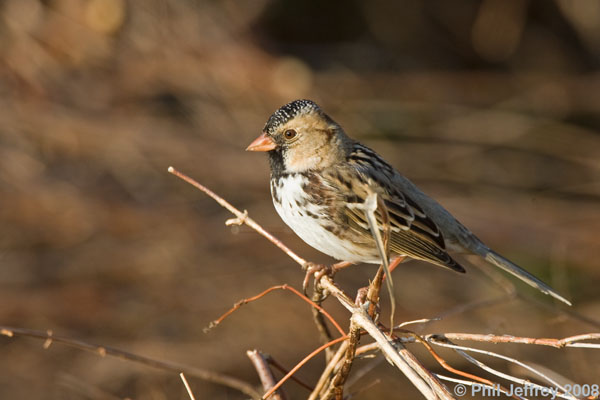 Harris's Sparrow adult