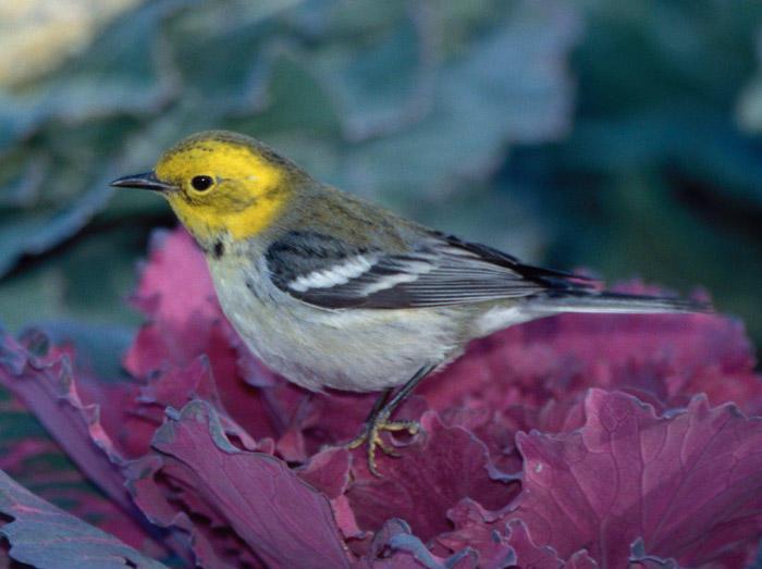 Hermit/Townsend's Warbler