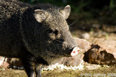 Javelina