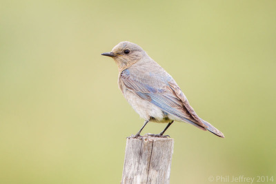 Mountain Bluebird, Idaho