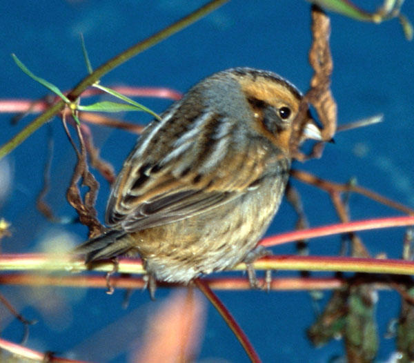Nelson's (Sharp-tailed) Sparrow
