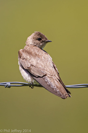 Adult Northern Rough-winged Swallow