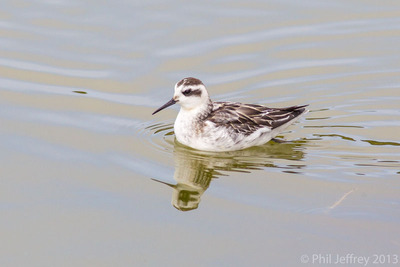 Red-necked Phalarope juvenile, Elkhorn Slough estuary