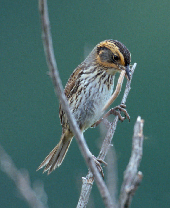 Saltmarsh (Sharp-tailed) Sparrow