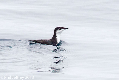 Scripps's Murrelet, Half Moon Bay pelagic