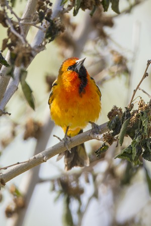 Male Streak-backed Oriole, Rattlesnake Springs, NM