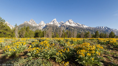 Sunflowers at Teton Glacier overlook, Grand Teton National Park