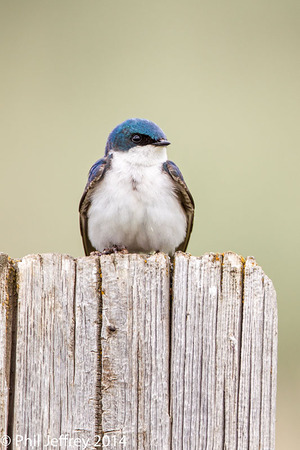 Tree Swallow, Idaho