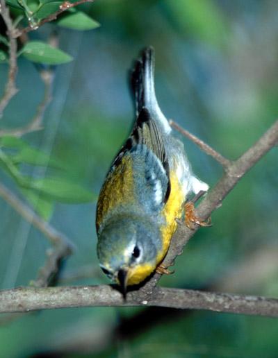 female Tropical Parula in Texas