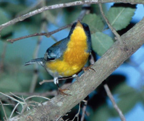 male Tropical Parula in Texas
