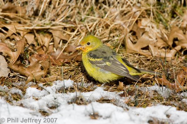 Western Tanager, immature male