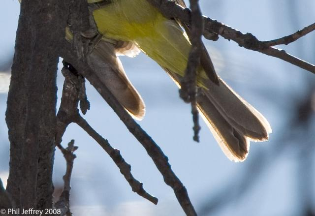 Western Tanager, Central Park