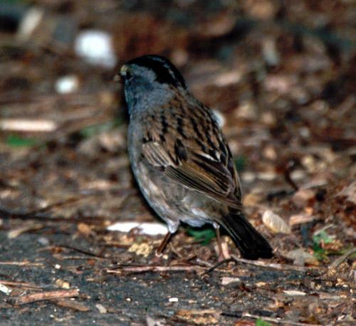 hybrid White-throated Sparrow x Dark-eyed Junco